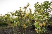 alberi di pistacchio