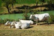 vacche bianche presidio slow food