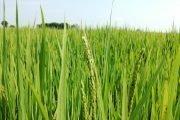storia del riso in italia