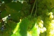 coda di volpe vino