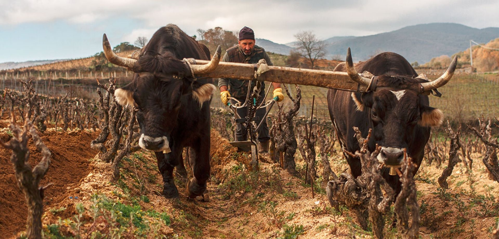 Tra i filari di uva Cannonau