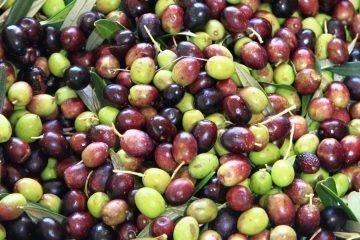 cultivar olivo