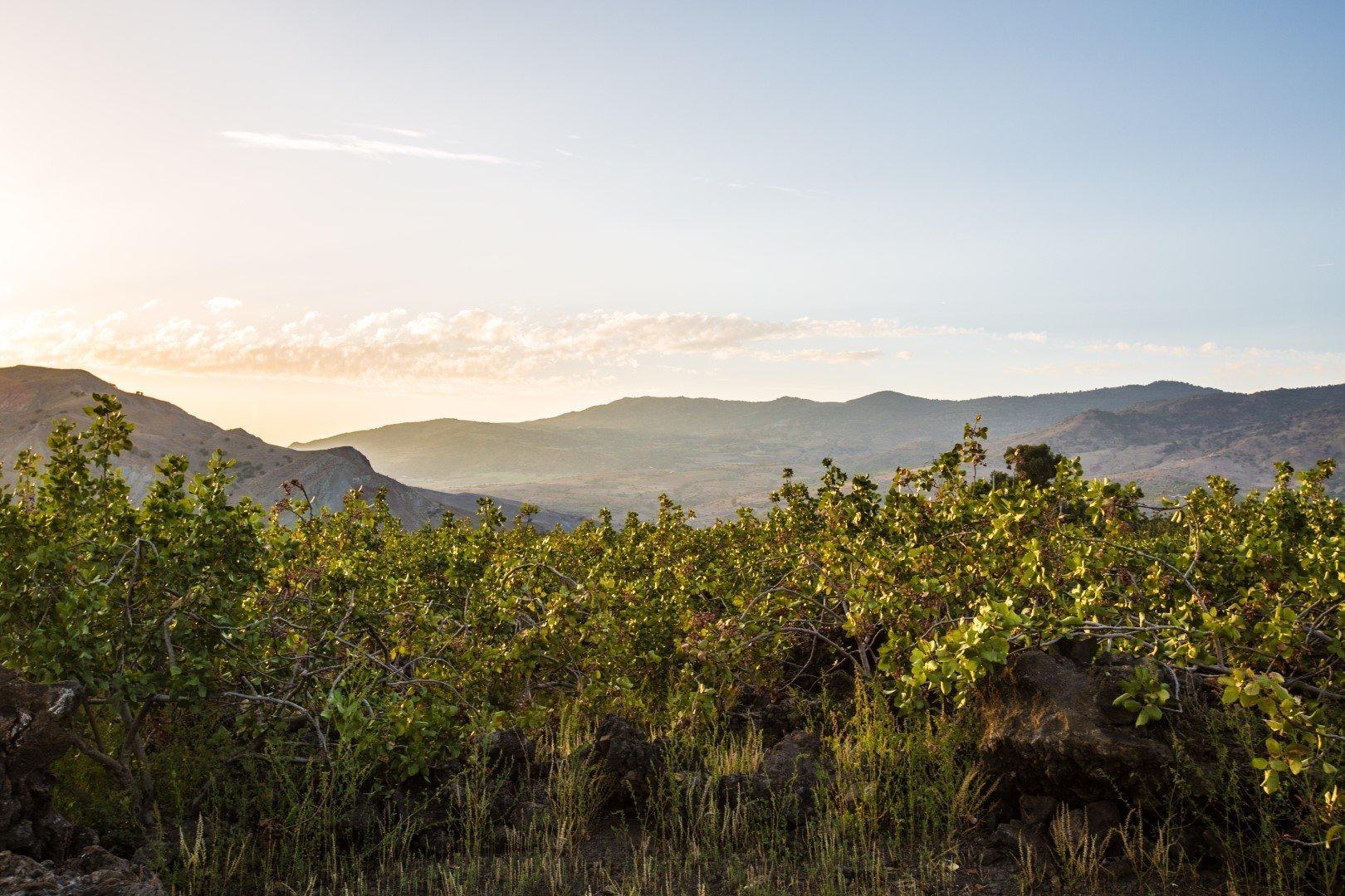 pistachio of Bronte: view on the pistachio trees