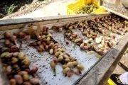 coltivare il pistacchio