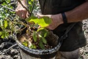 coltivazione pistacchi