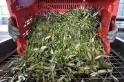 raccogli olive da terra