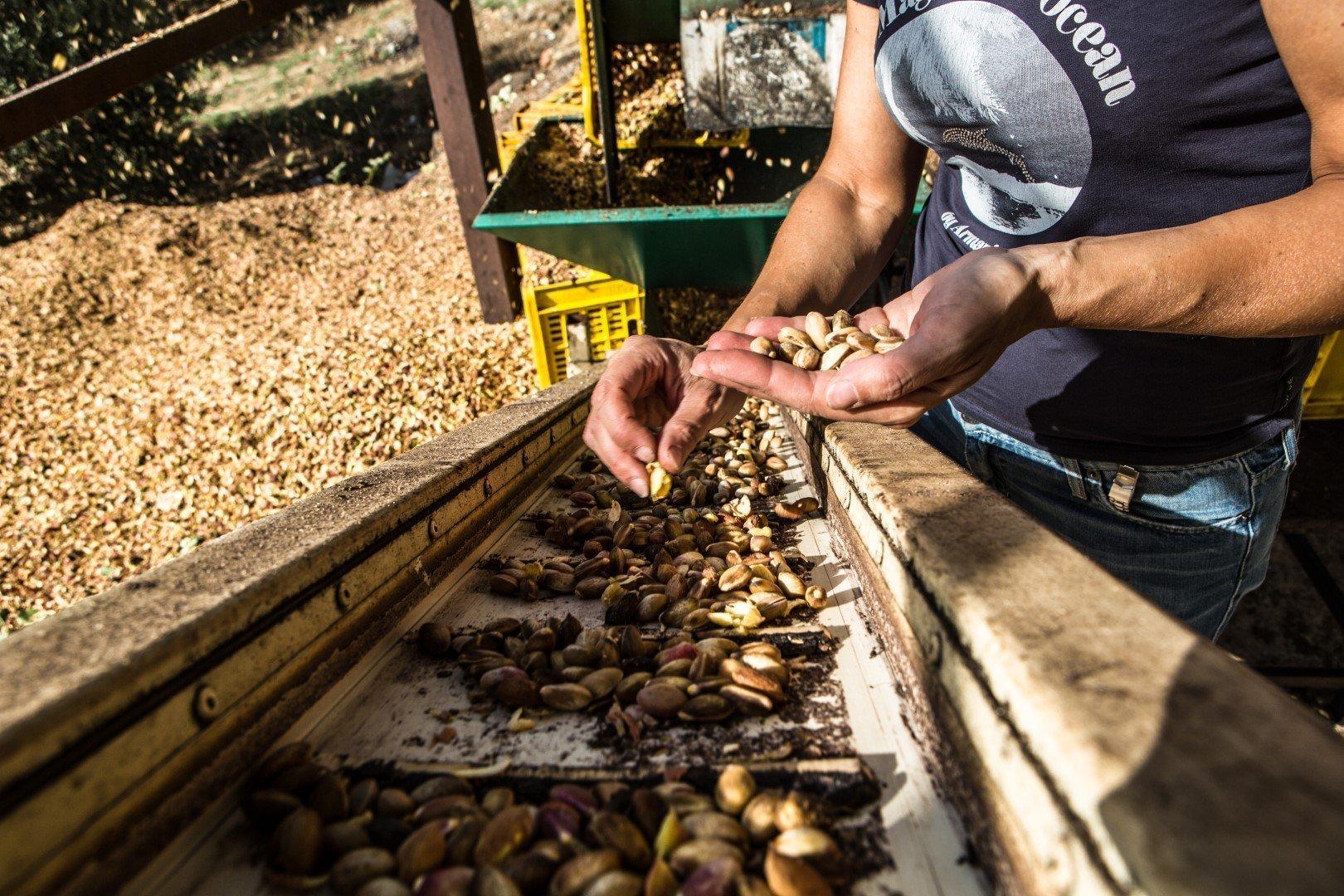 bronte pistachio: the harvesting