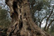 piante olivo