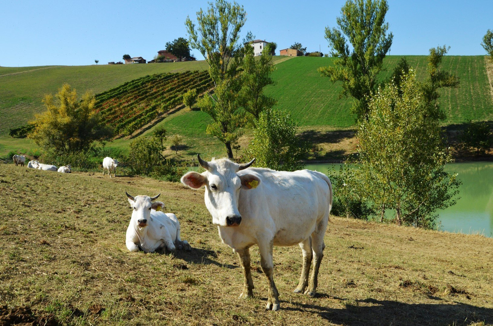 vacca bianca modenese