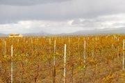 vitigni siciliani bianchi