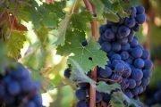 vino nero di troia
