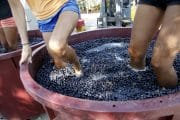 raccolta uva toscana
