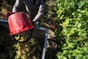 la raccolta dell uva