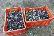 come raccogliere le olive