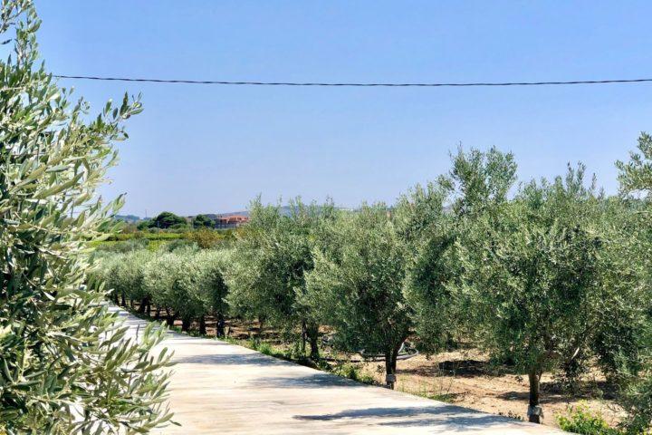 olio siciliano caratteristiche oliva gioconda
