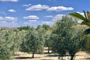 olive per olio