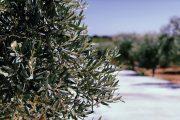 olive qualità