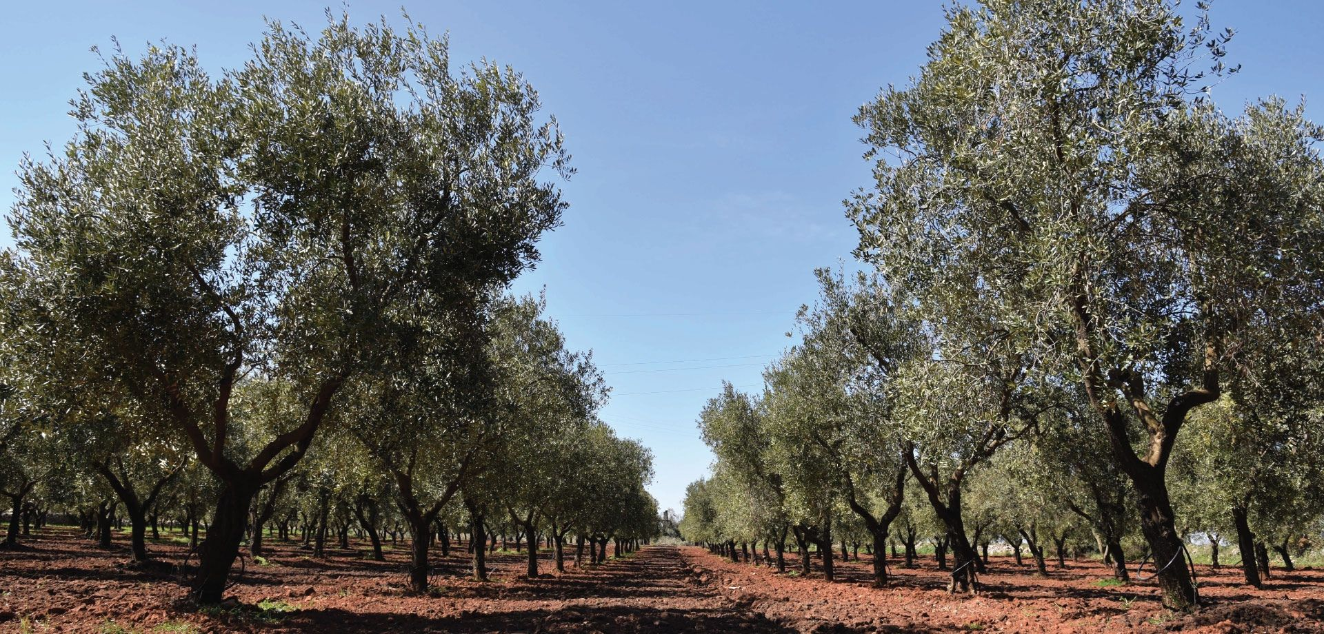 Salento: discover the culture of olive oil!