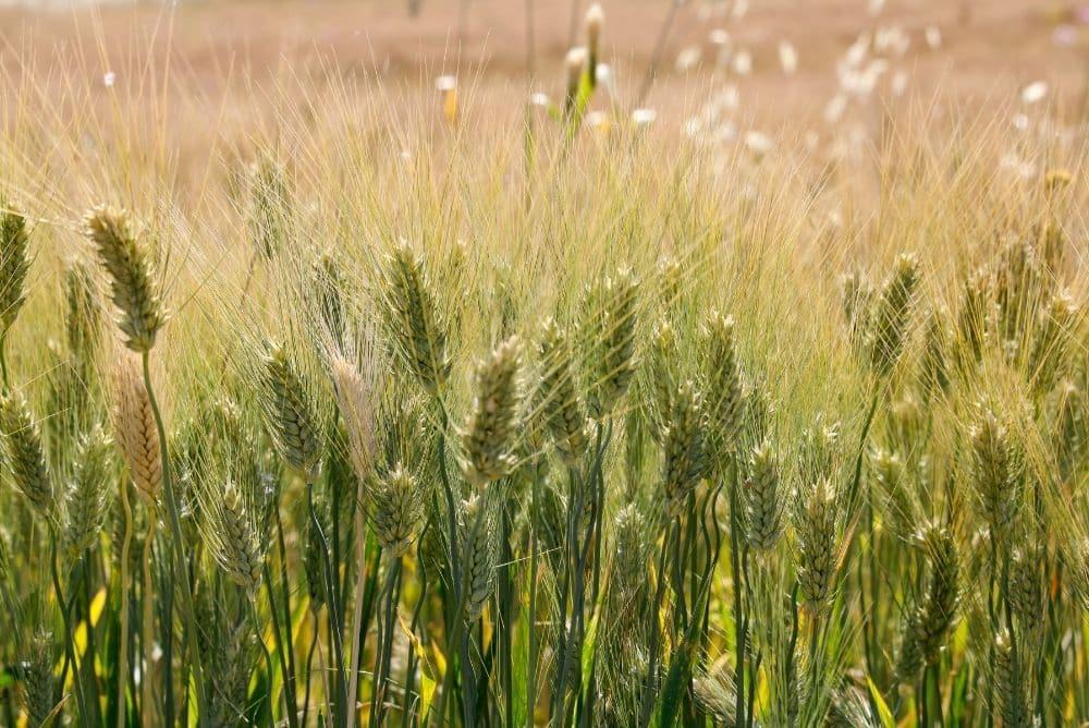 grano antico siciliano