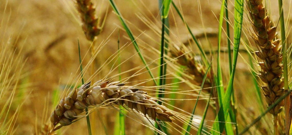 grano siciliano autoctono