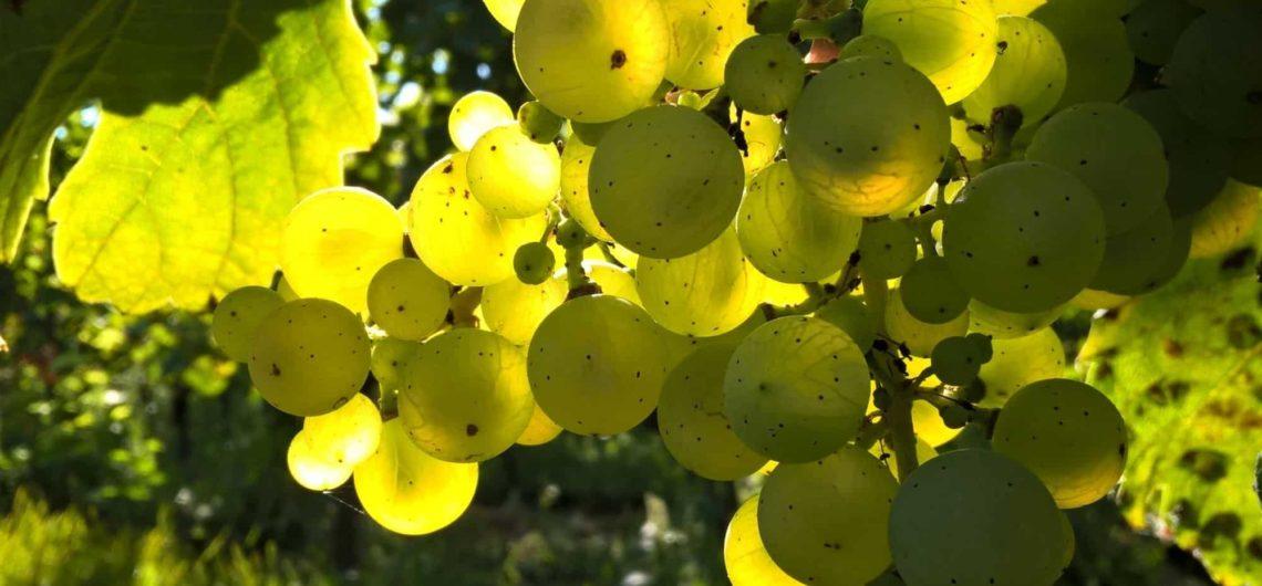 vini biologici e biodinamici